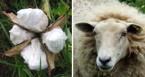 cotton-vs-wool-2