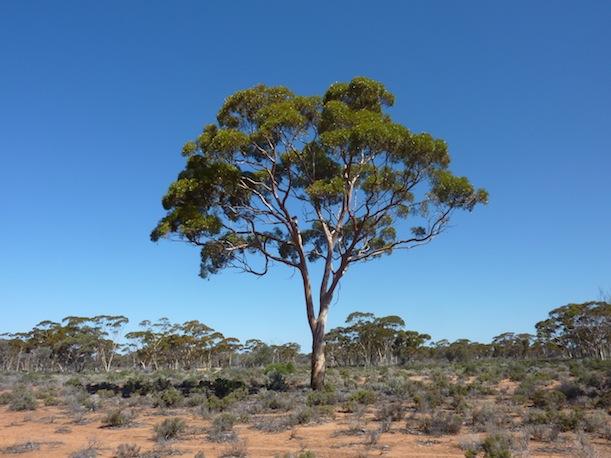 eucalyptus-gold